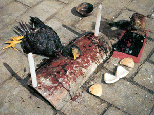 Chicken sacrificed for its blood in Santeria sacrifice